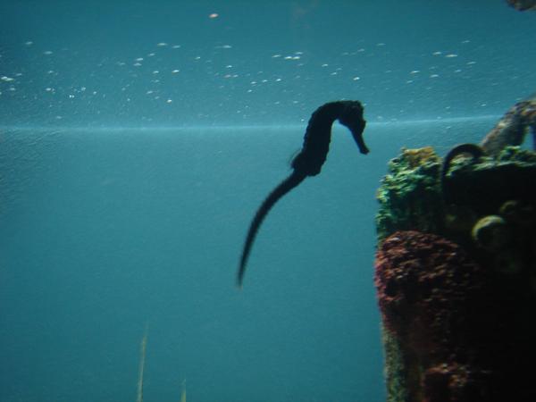 Photo by Angela Grider. A seahorse at the Georgia Aquarium.