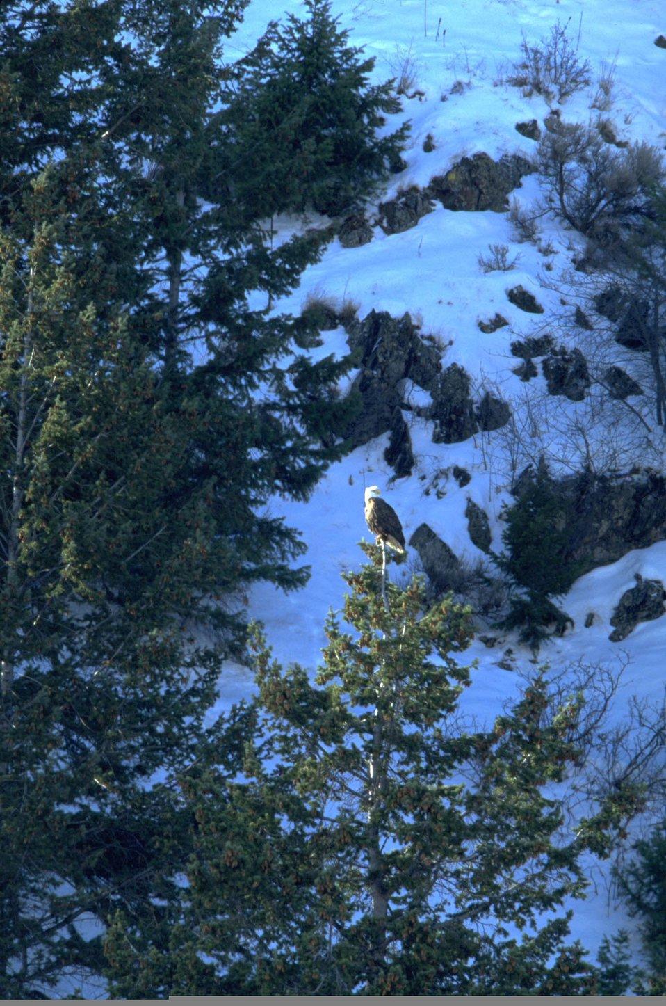Bald eagle in trees