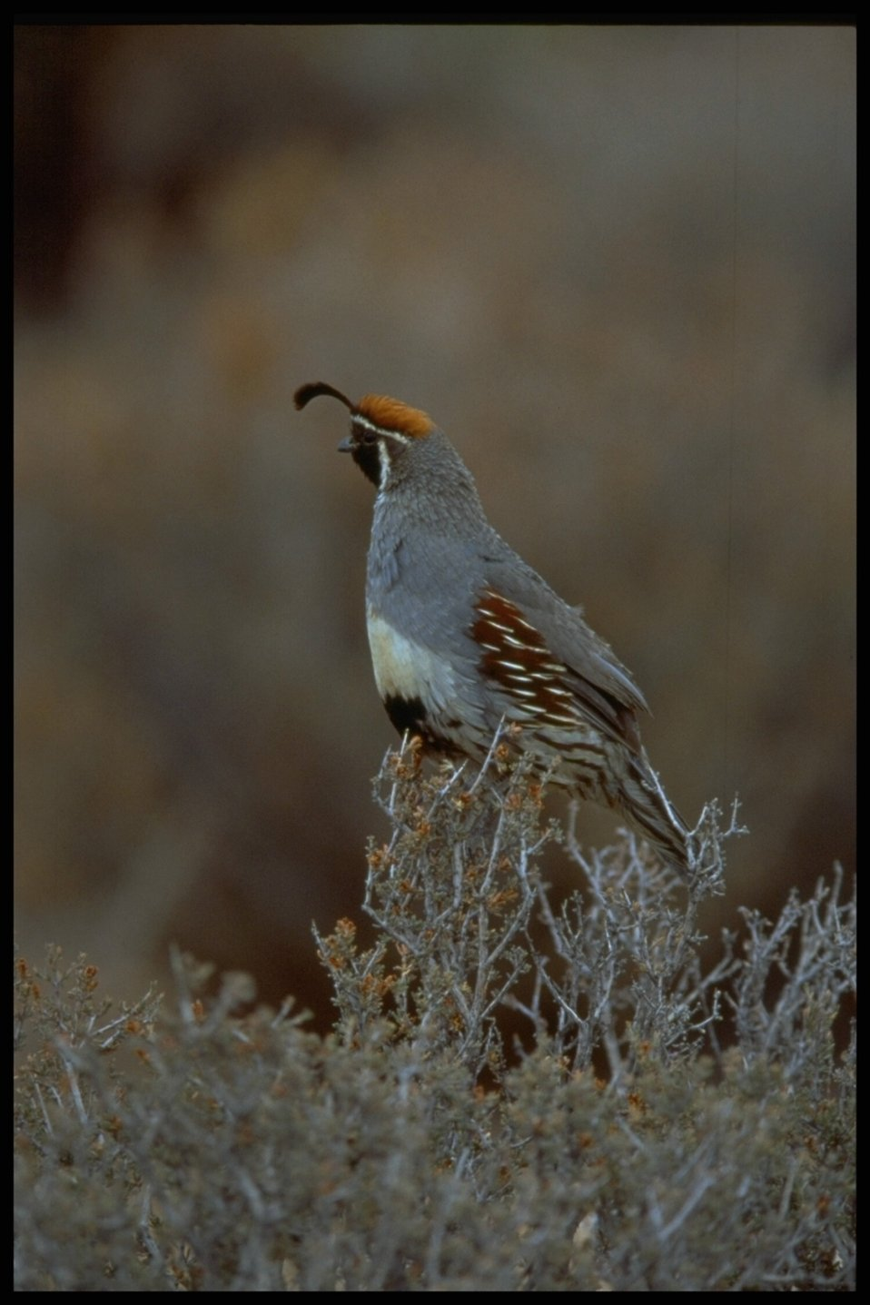 Quail on watch!  He is sitting on a bush found at the Parashant National Monument.