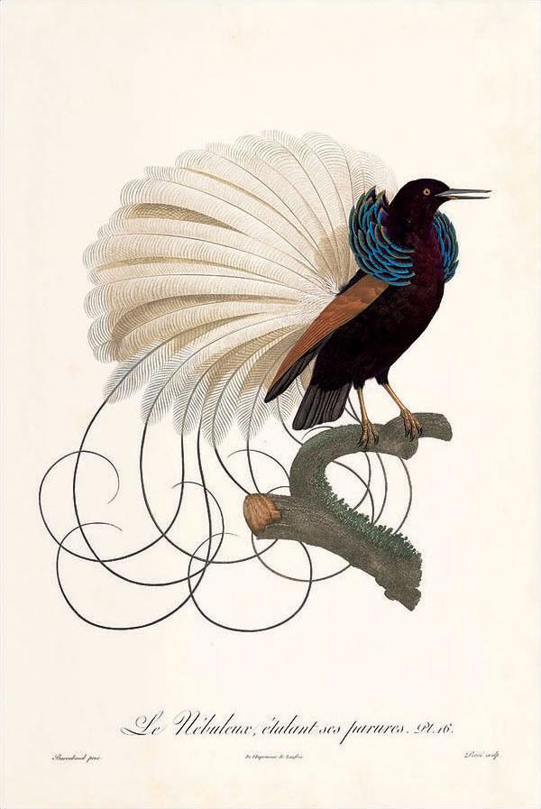 Le Nébuleux étalant ses parures, plate no. 16, from 'Histoire naturelle des Oiseaux de paradis et des Rolliers', published by Jacques Barraband and François Levaillant (original illustration in watercolor)