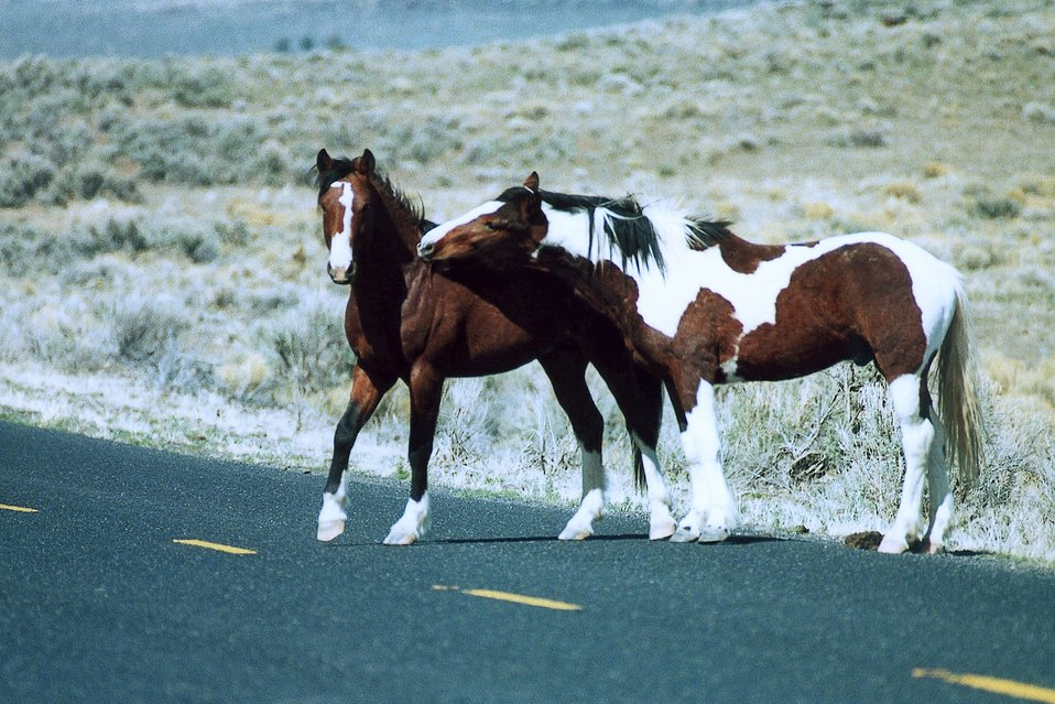 Two wild bachelor stallions crossing Oregon State Road 205.