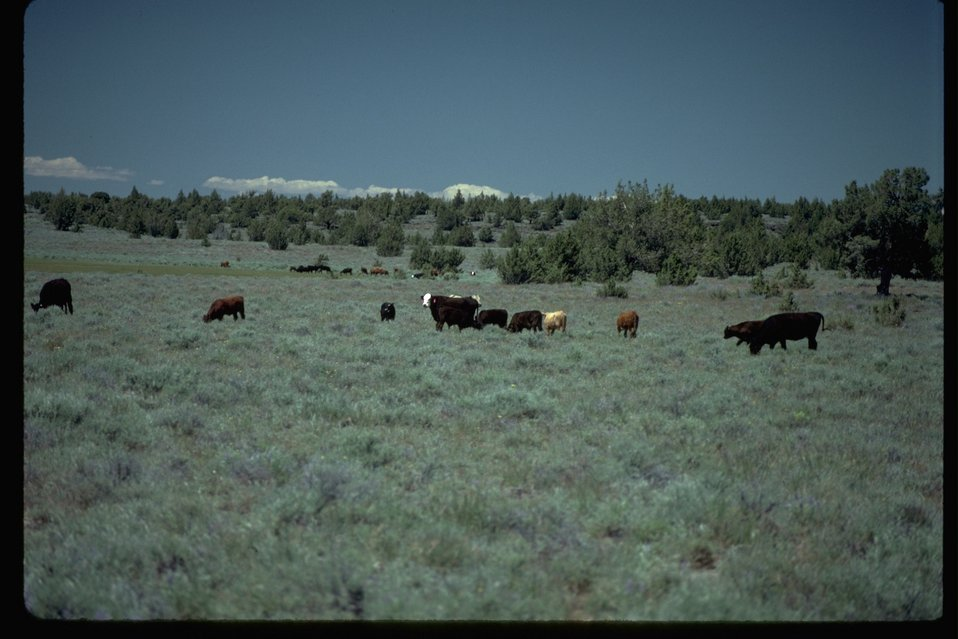 Livestock grazing in the south steens mountain area.