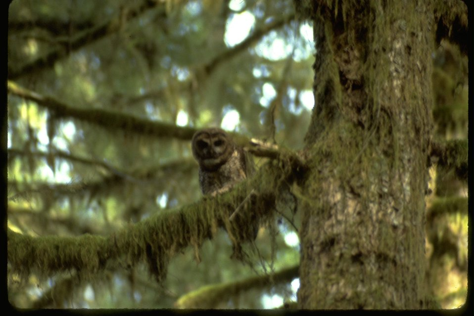 Spotted Owl sitting in a tree.