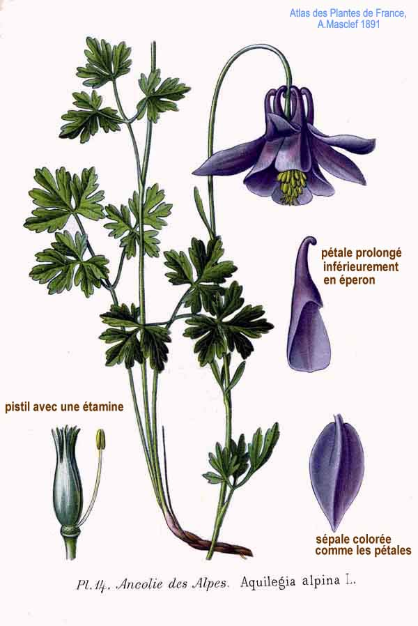 14 Aquilegia alpina L.jpg