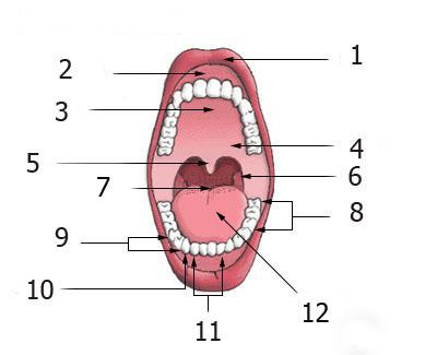 oral cavity with numbered annotations (for non-english wikipedias) Русский:  Ротовая полость человека: 1. Верхняя губа (лат. Labium superius)  2. Десна (лат. Gingiva)  3. Твёрдое нёбо (лат