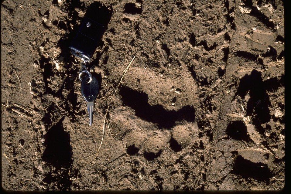 Cut bear tracks on Schoheim Road, Lone Pine Ridge.