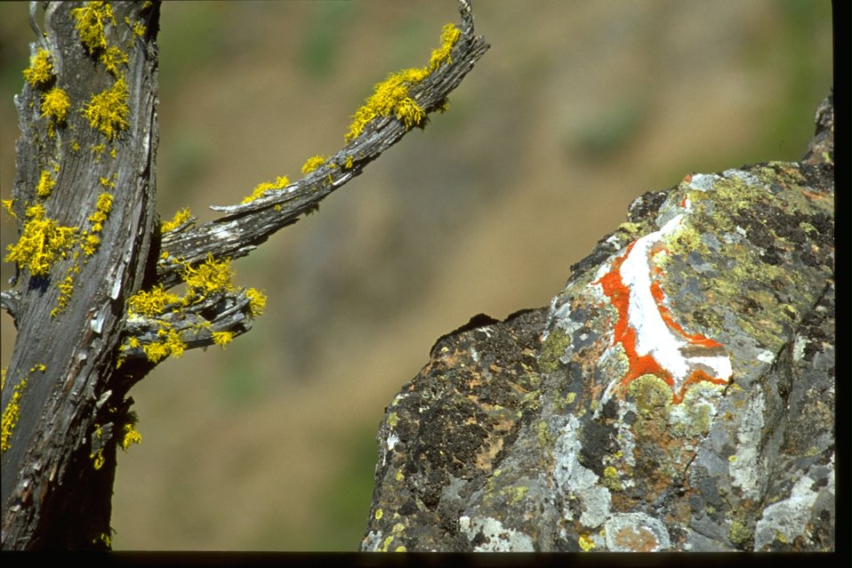 Packrat deposit and lichen on rock.