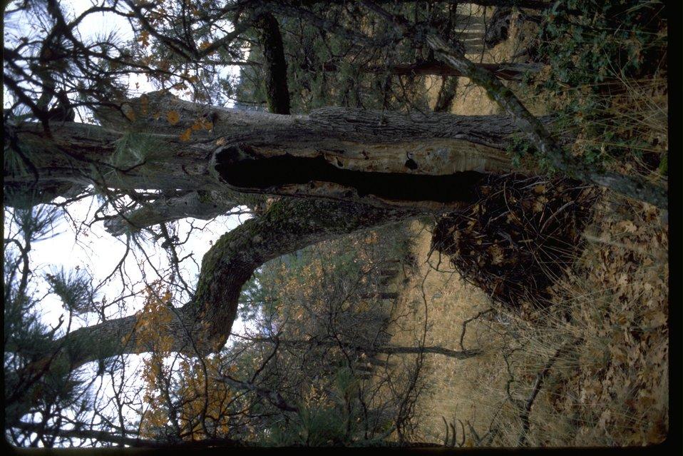 Quagar with woodrat nest at Oregon Gulch RNA.