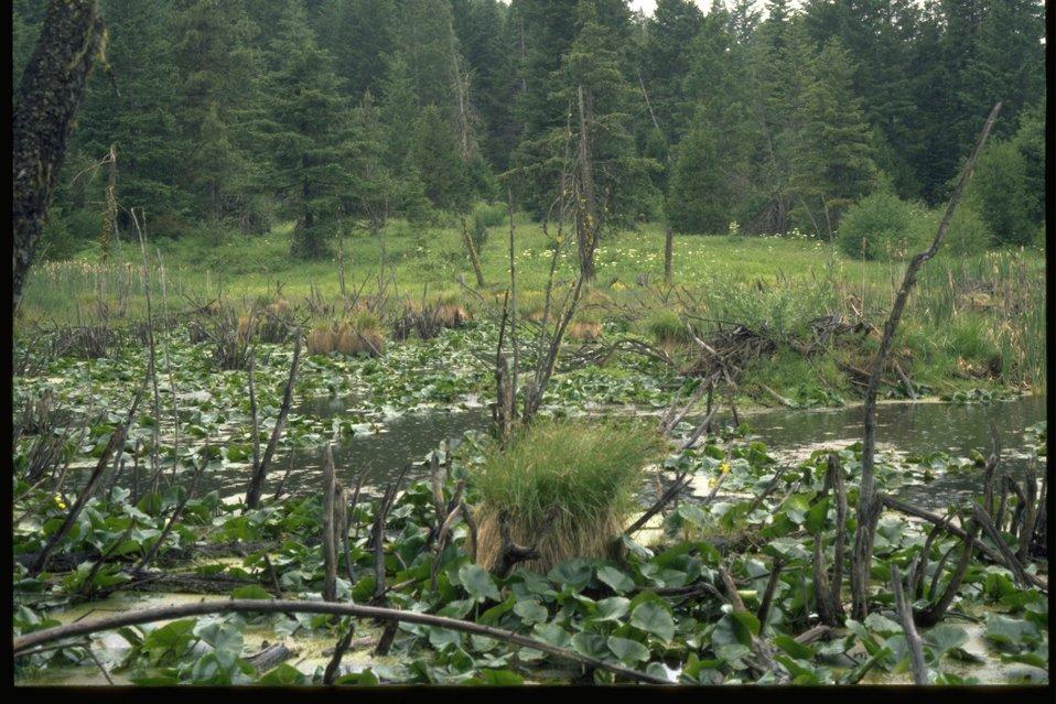 Parsnip Lake's beaver pond.