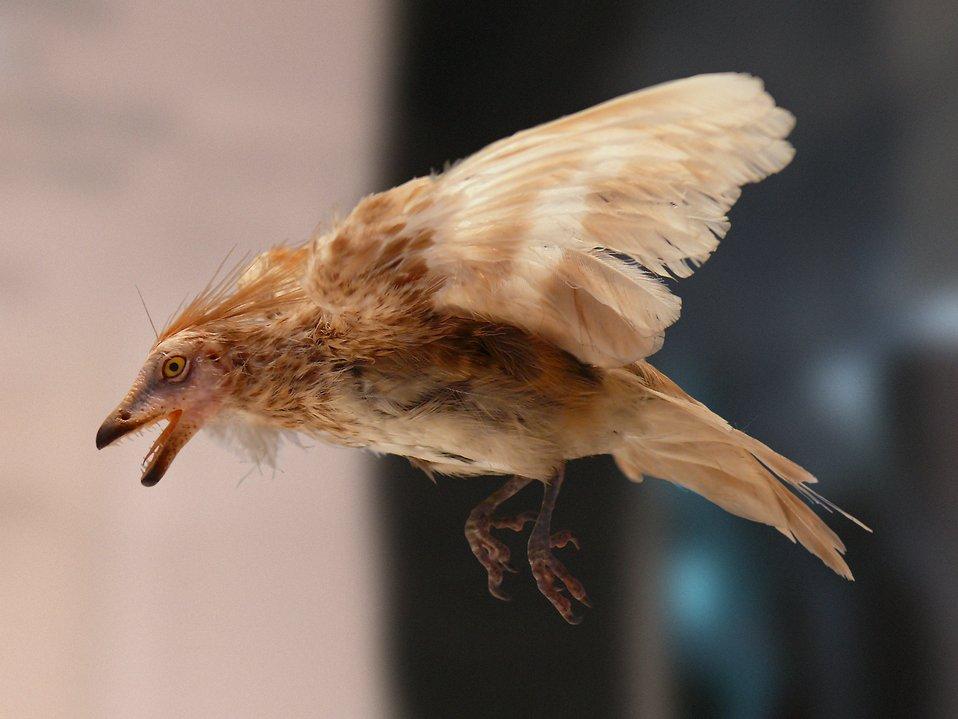 Español:  Reconstrucción de un Iberomesornis expuesto en el Museo Nacional de Ciencias Naturales de Madrid