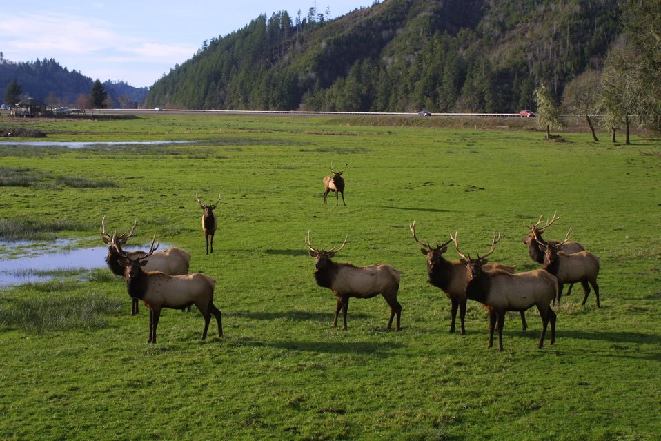 Elk at the Dean Creek Watchable Wildlife site near Reedsport, Oregon.