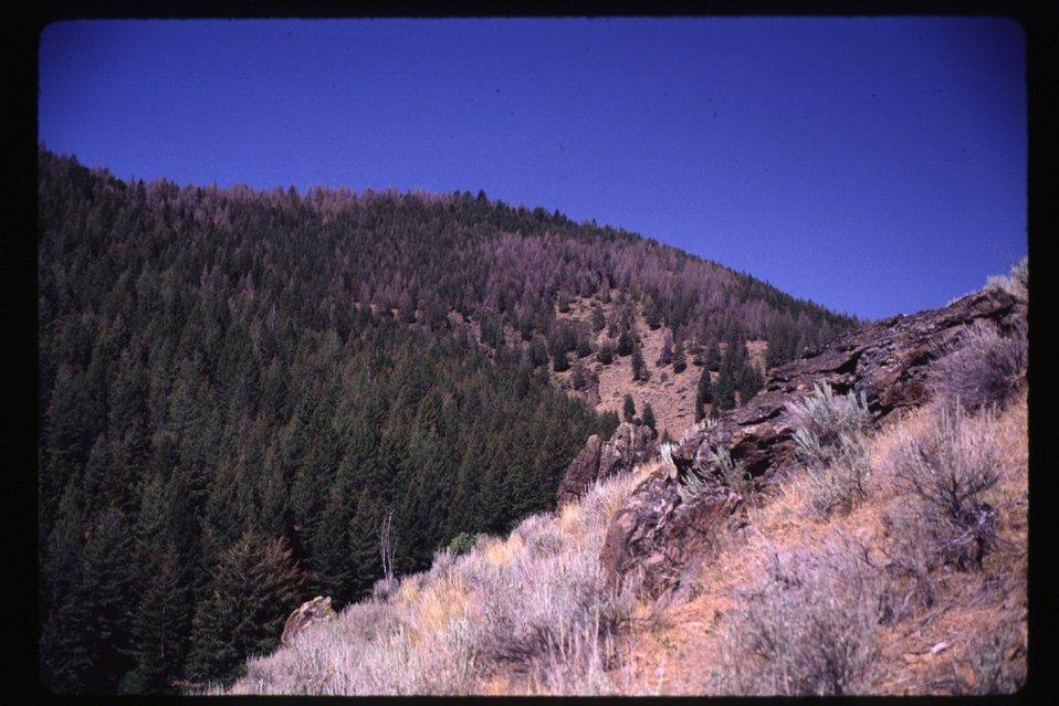 Tussock Moth damage  Forestry  Shoshone Field Office  USRD  Upper Snake River District