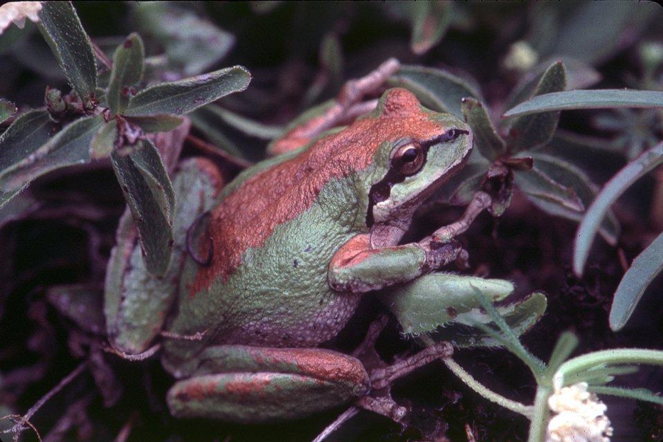 Pacific Tree Frog  Hyla regilla  Jeff Dillman, Medford  Pacific tree frog near Grave Creek on the Medford District.2000