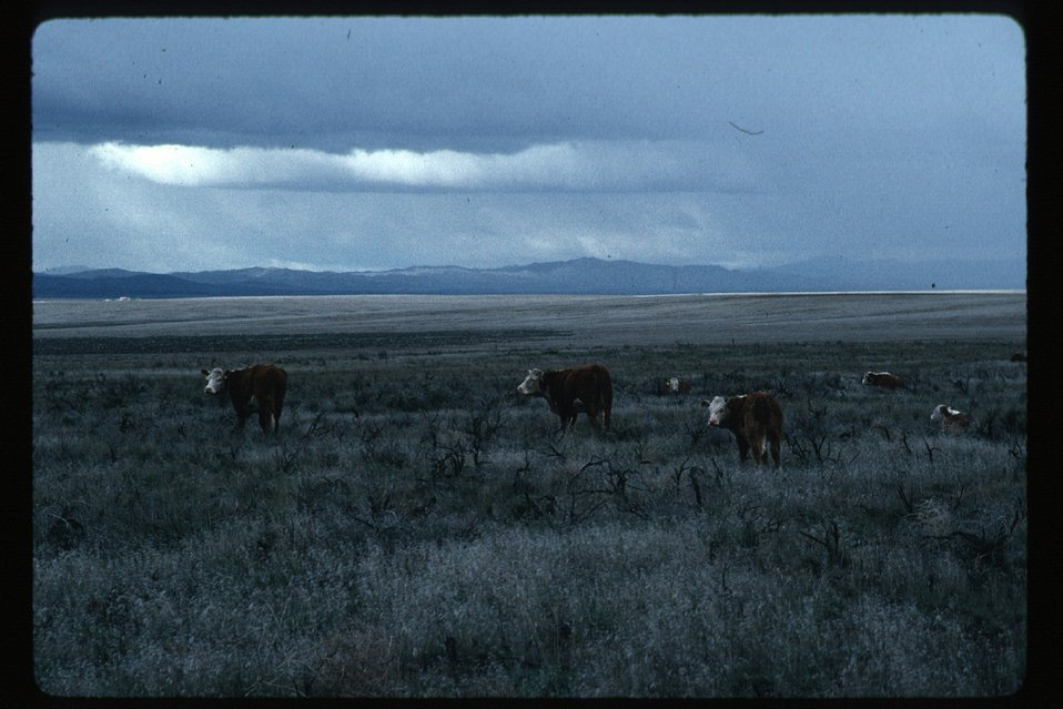 Cows  Rangeland  Four Rivers Field Office  LSRD  Lower Snake River District