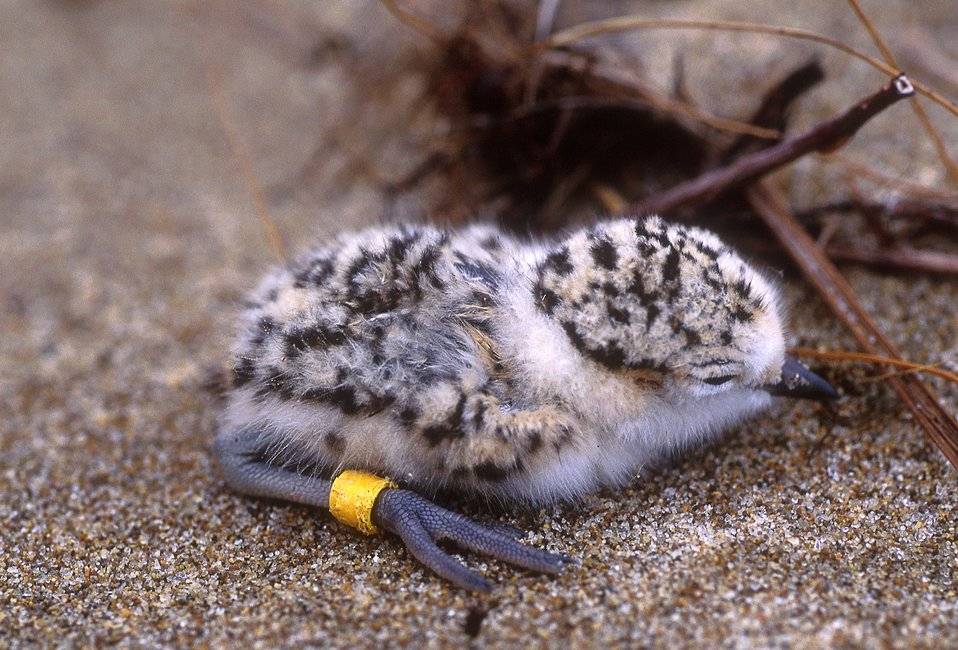 One day-old Snowy Plover chick #N431 on the Coos Bay North Spit, 94 HRA, Coos Bay, Oregon.  (Rights to use this igital image for any purpose have been purchased from Kathy Castelein)