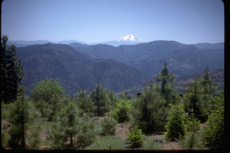 Recently planted trees in the China Gulch area with Mt. Ashland in the background.