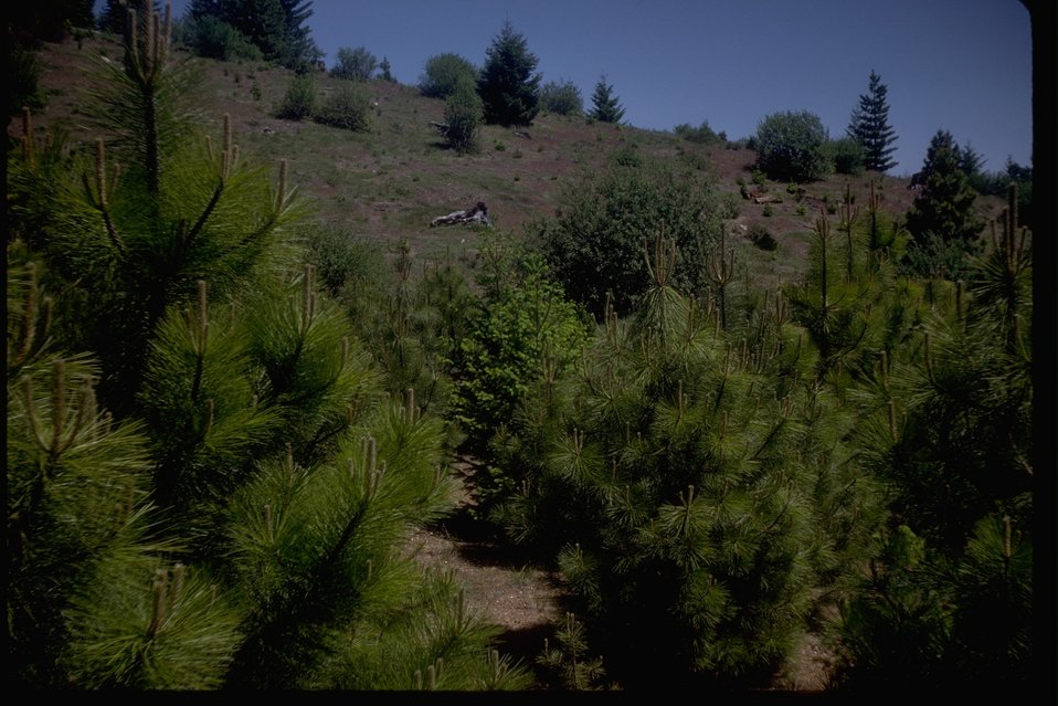 The China Gulch scarification project with its planted trees.