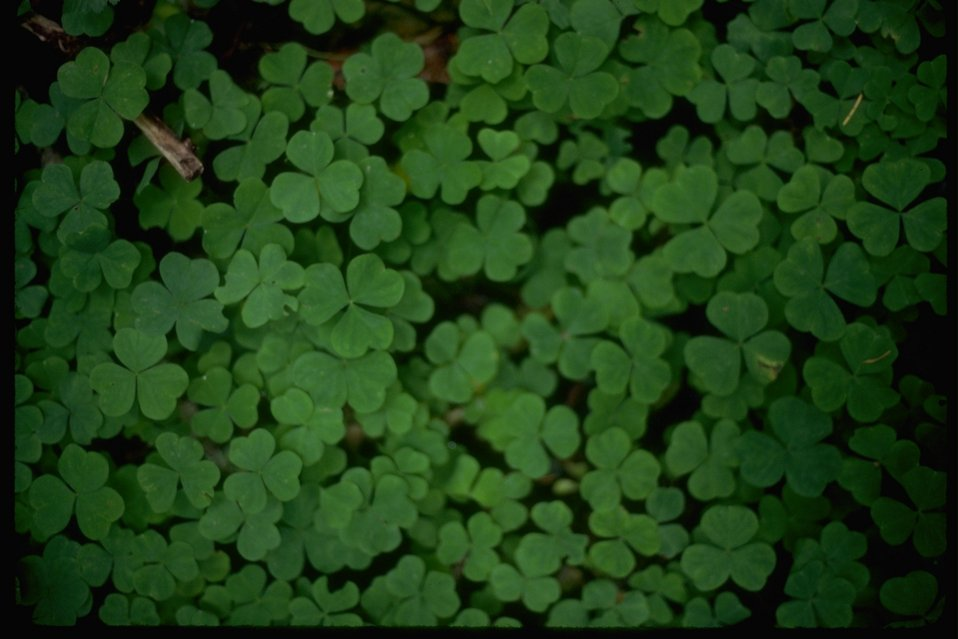 Wood Sorrel (Oxaus Oregana)