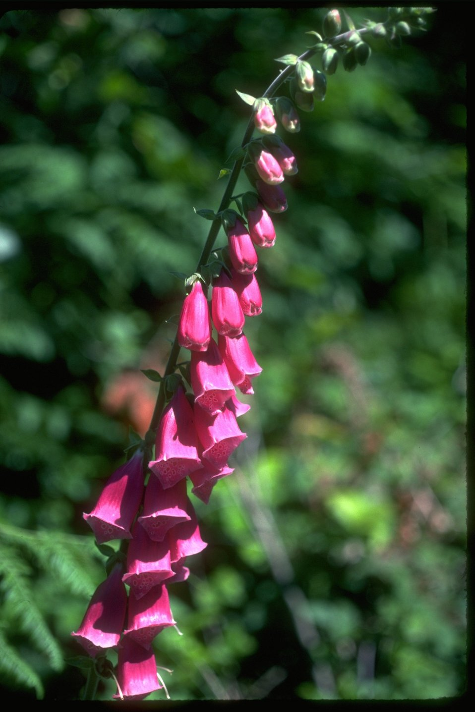 Fox Gloves (digatalis pupurea)