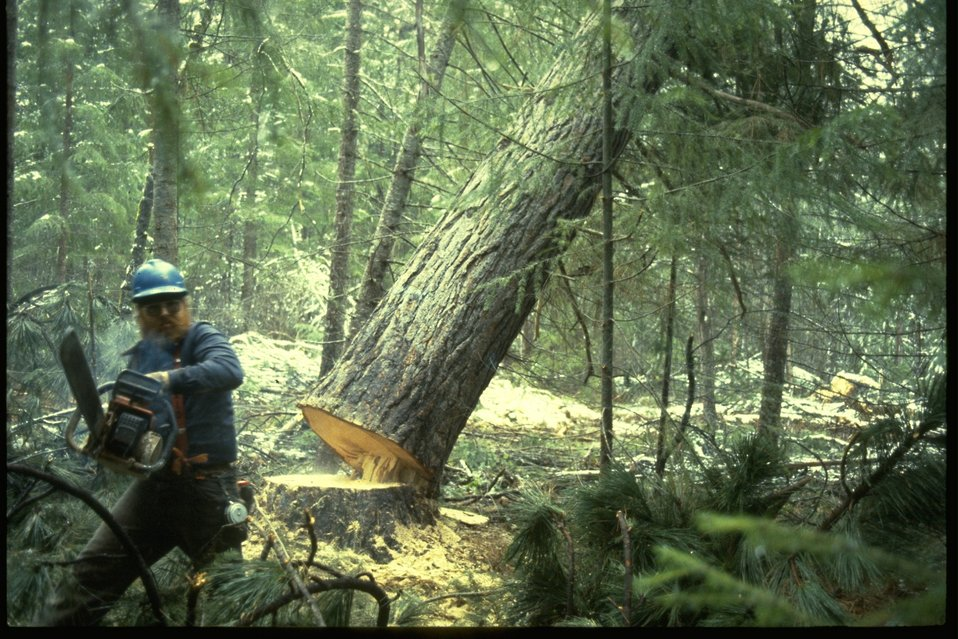 Logger felling a tree.