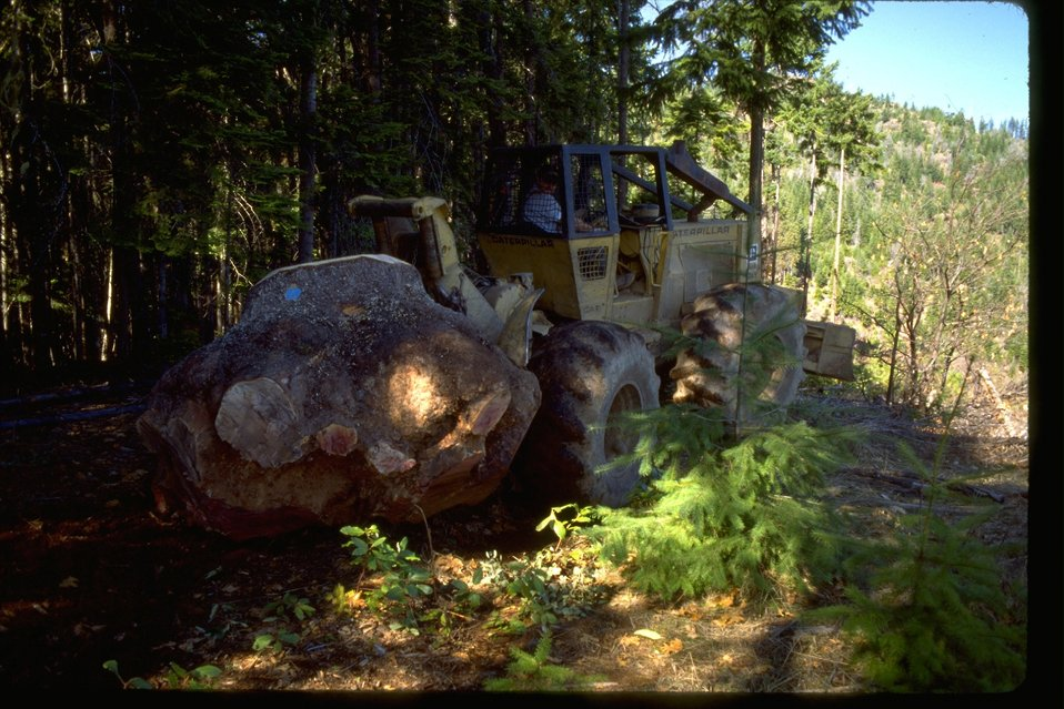 Large CAT pulling out a 7000lbs Madrone Burl from the ground.