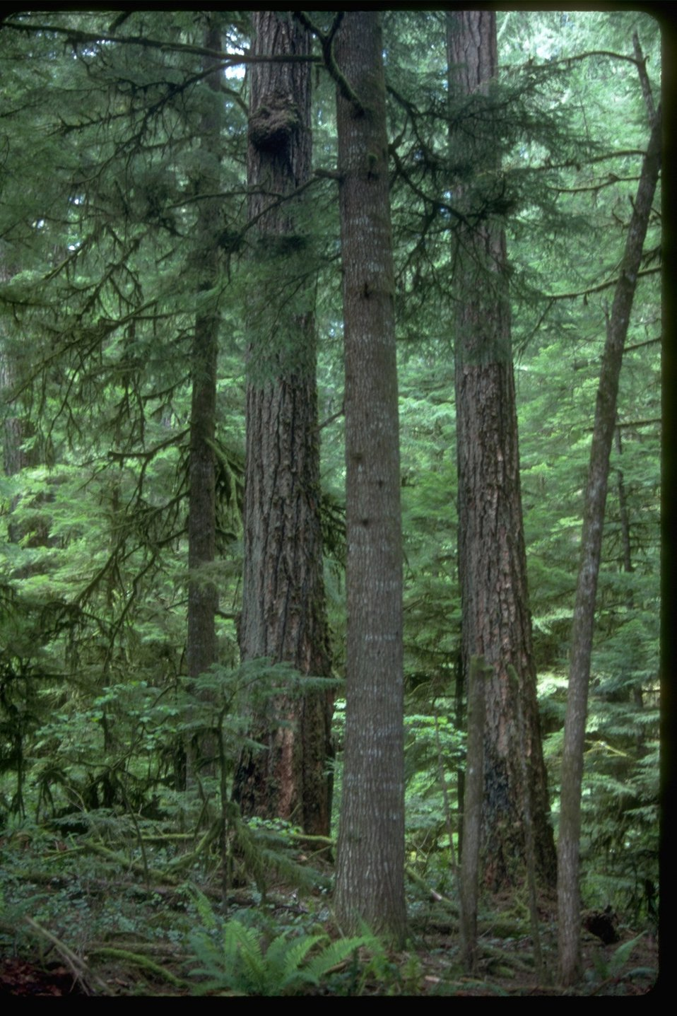 A forest scene of Old Growth.