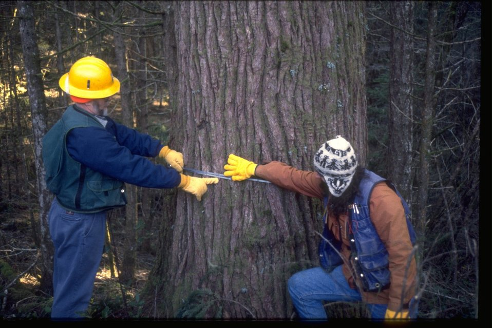 Forest workers measuring a Chinquapin Tree.