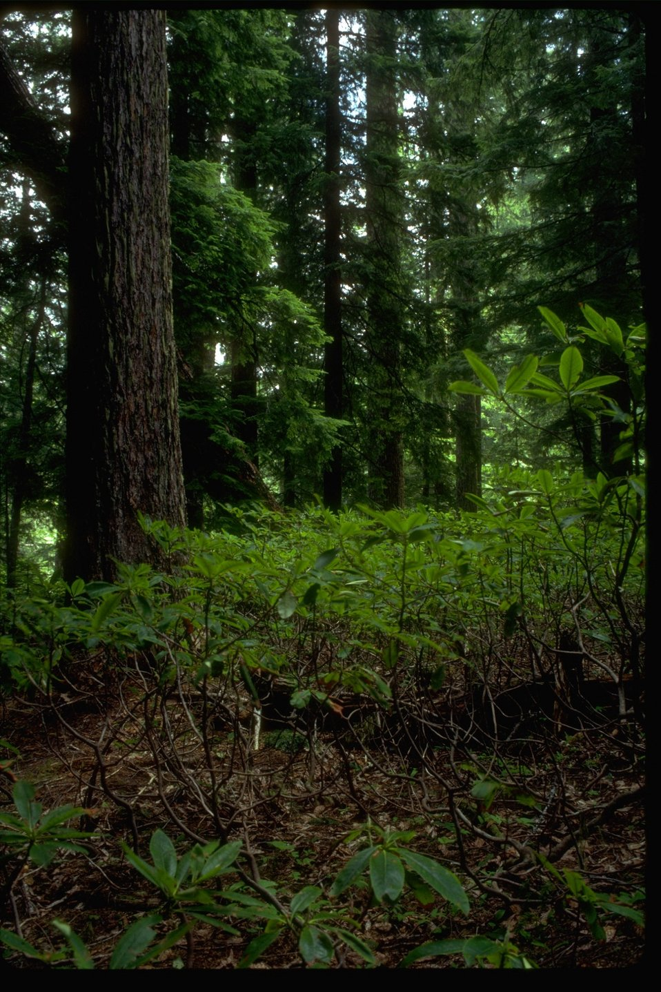Forest Scene: Douglas Fir and Rhododendron.