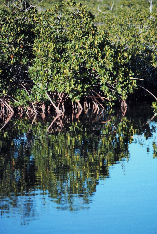 Mangroves in Monroe County