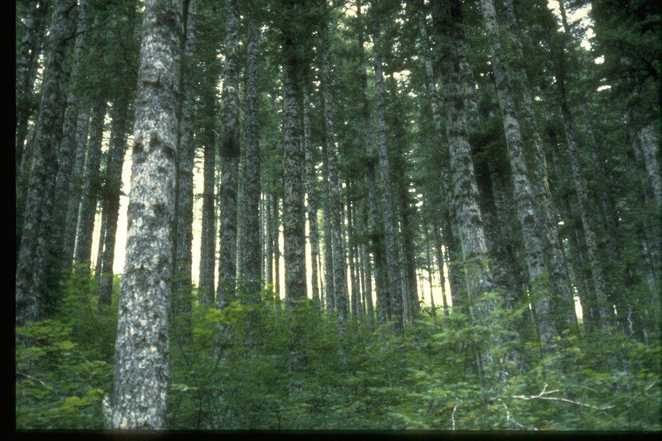 Forest Scene: Douglas Fir Stand.