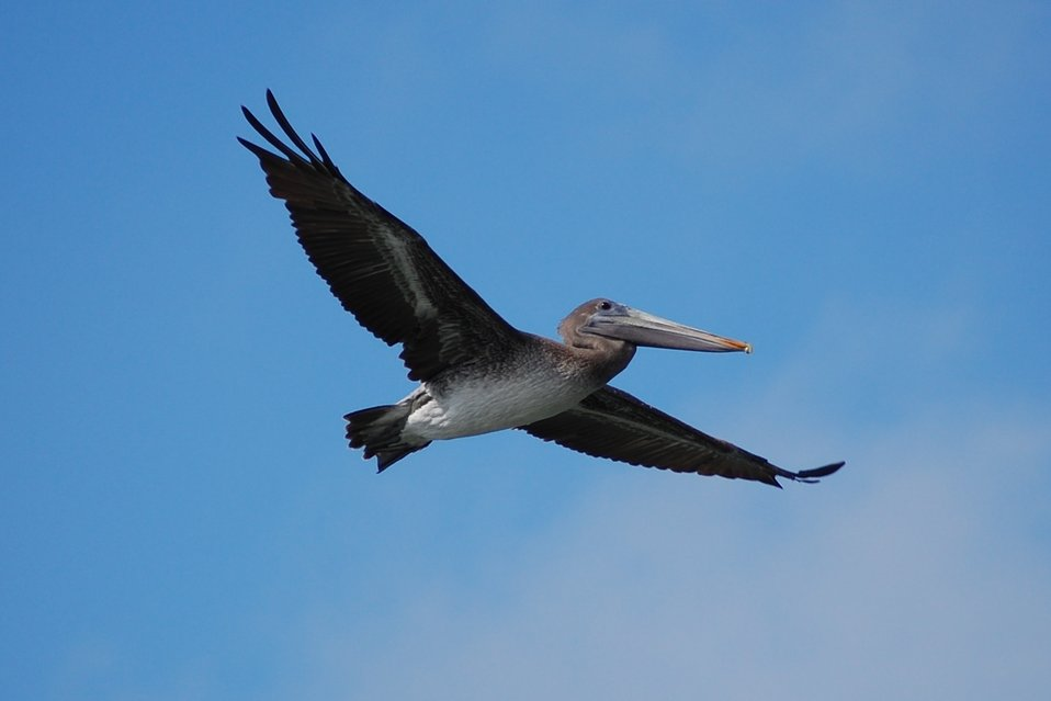 Pelican in flight seen from front right