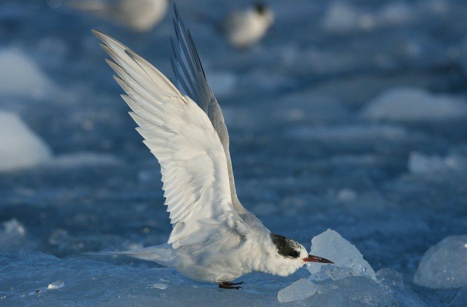 Juvenile Arctic tern (Sterna paradisaea)