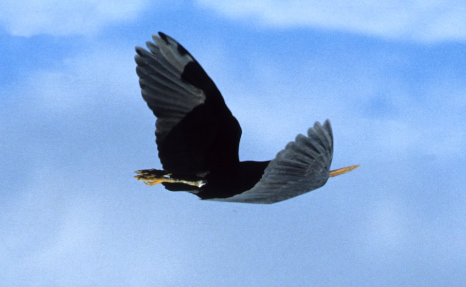 A large-billed water-bird in flight as seen looking to the starboard quarter.