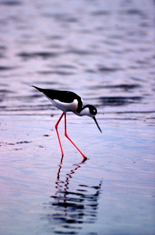 ACE Basin National Estuarine Research Reserve.  A black-necked stilt hunting for  its dinner.