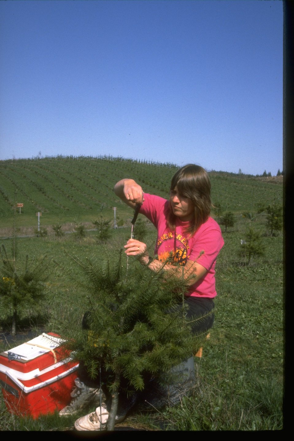 Grafting trees at Seed Orchard.