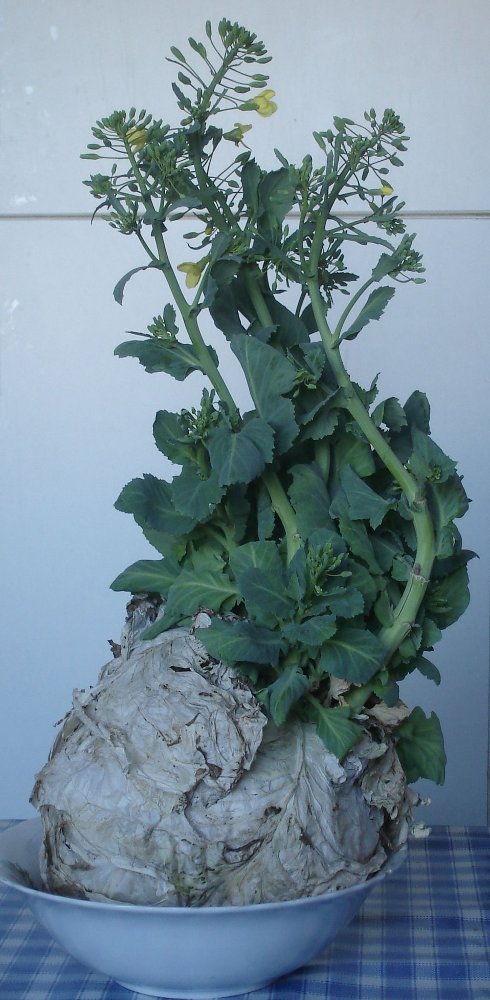 Română:  Varză înflorită în ianuarie 2008, după ce a stat pe balcon din toamnă Cabbage in blossom in January 2008 after being held on a closed balcony since the autumn 2007