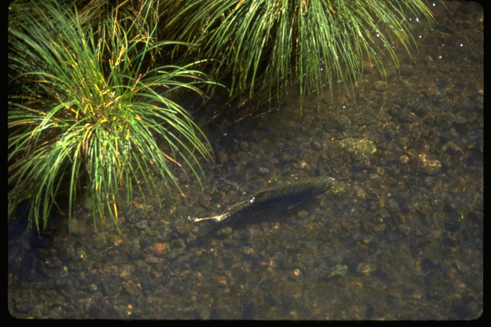 A spawning Salmon moves along the riverbed of the Big Butte Creek.