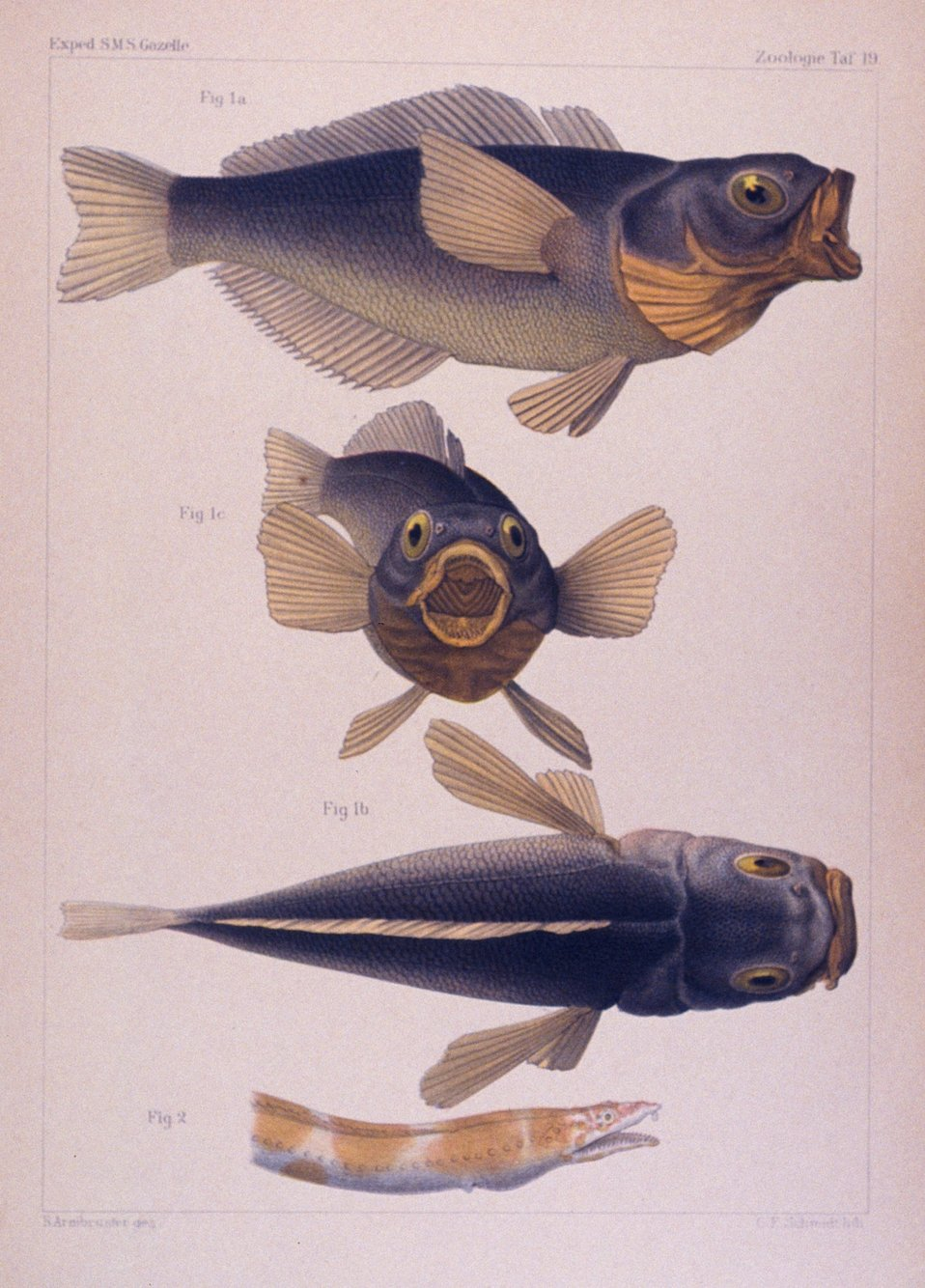Drawings of fish captured during the GAZELLE expedition.