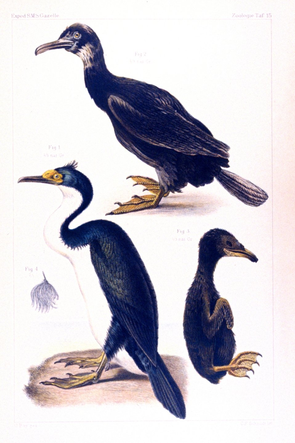Water color of cormorants seen during the voyage of the GAZELLE, including an . chick.