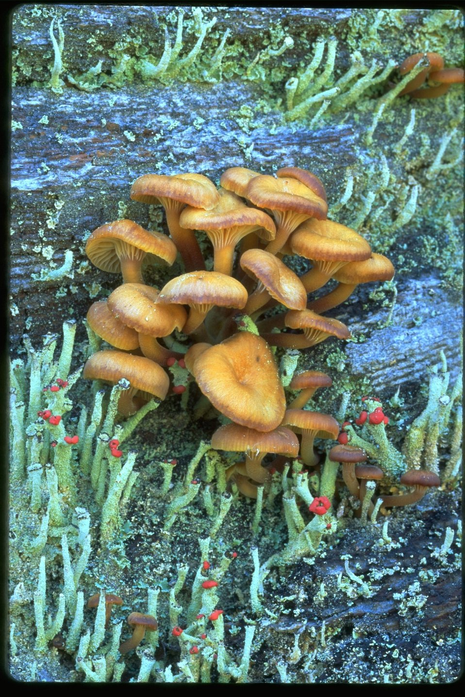 Small clump of mushrooms growing in grassy area.
