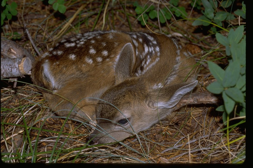 Deer, fawn, with small spots lying on the ground.