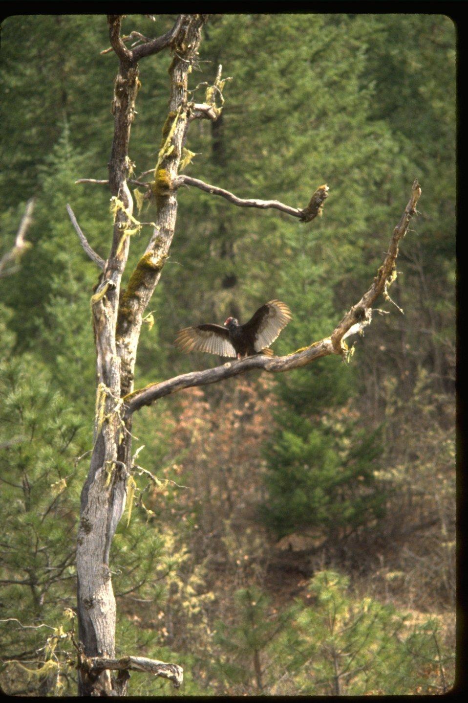 Turkey Vulture preparing for flight from dead tree.