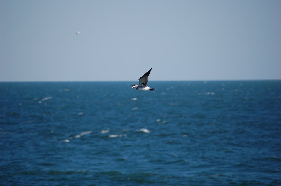 Second cycle laughing gull in flight