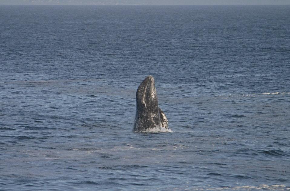 A breaching gray whale off Point Piedras Blancas.