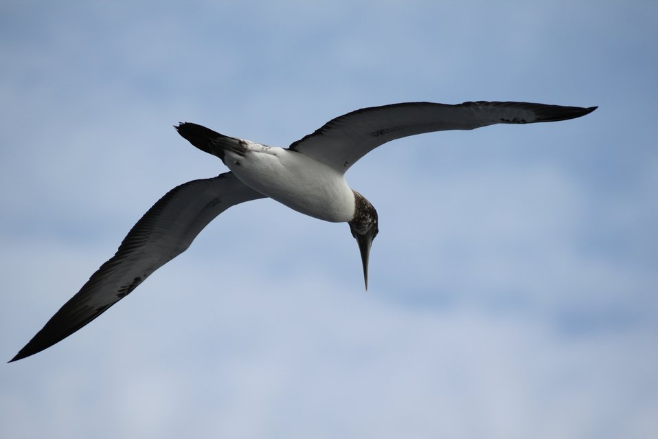 Juvenile masked booby in flight