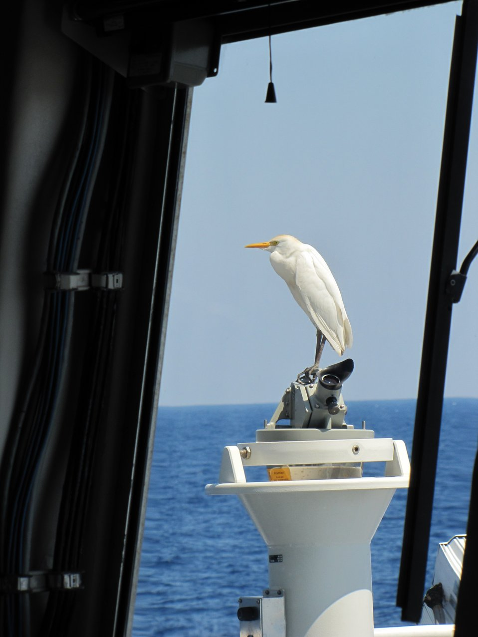 Cattle egret blown lost offshore perched on compass stand alidade