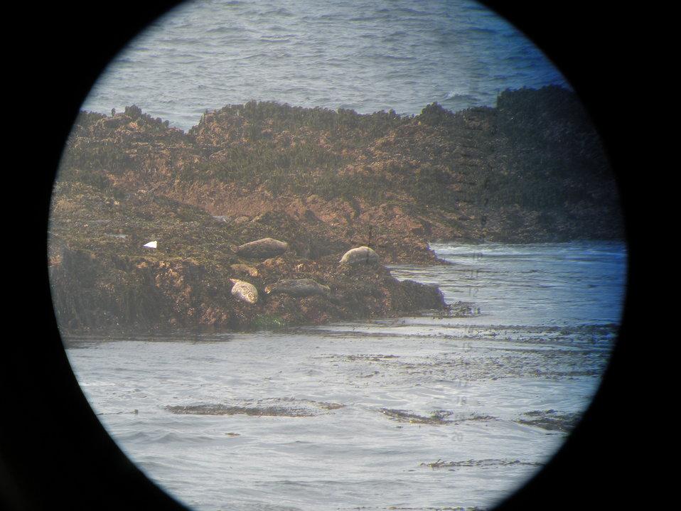 Harbor seals lounging along the shore at Point Piedras Blancas as seen through big-eye lens.