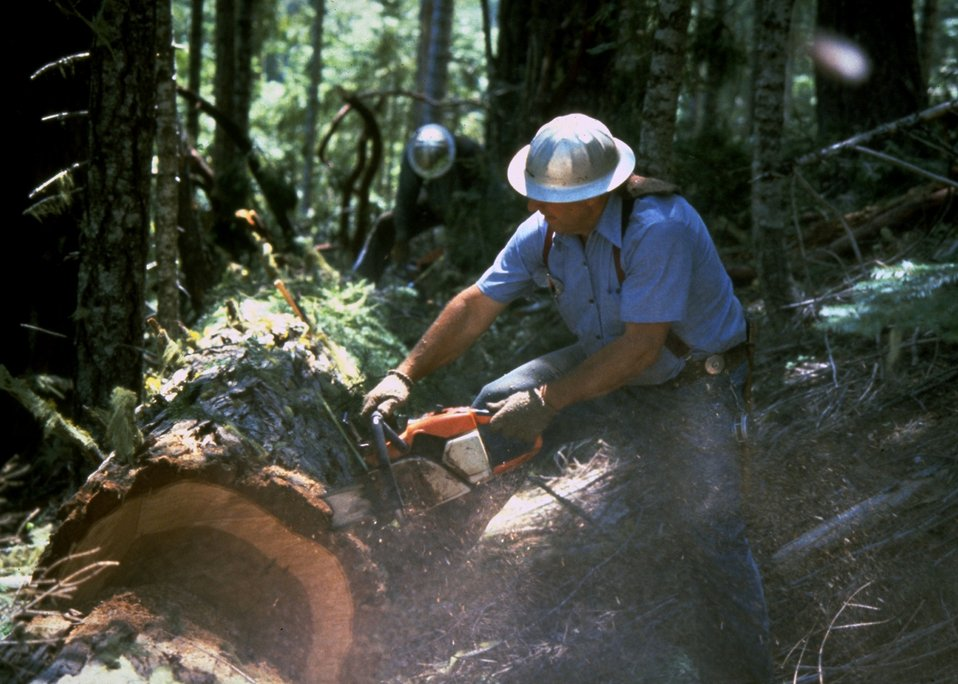 Logger bucking a tree.