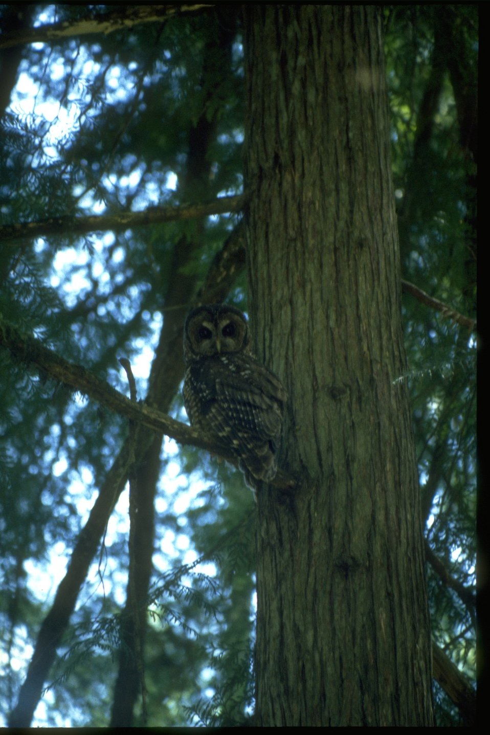 Northern Spotted Owl perched on a branch.