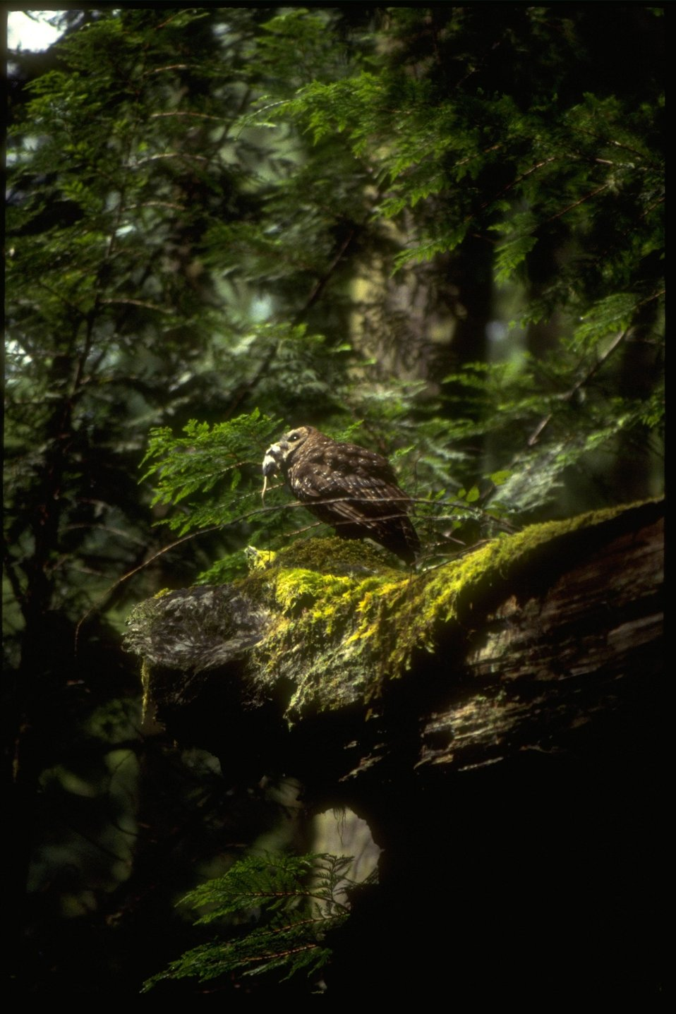 Northern Spotted Owl with a mouse.